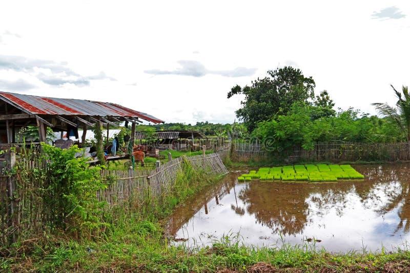 Vida da exploração agrícola, casa de madeira com cerca de bambu e vaca de agrícola em rural em Tailândia fotografia de stock royalty free