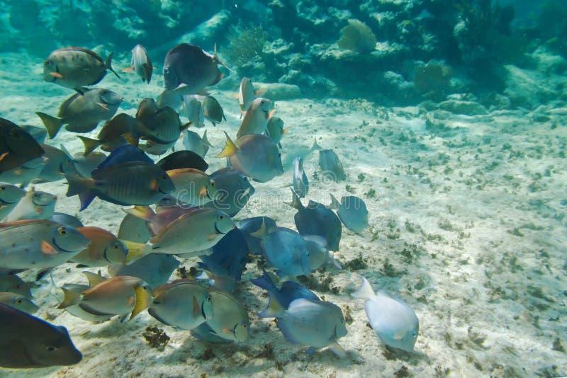Vida de mar do Cararibe fotografia de stock