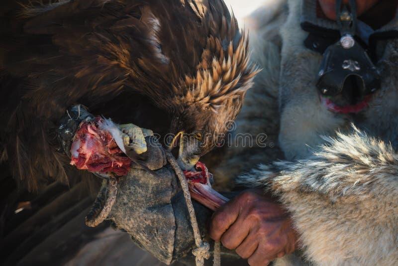 Vida de nómadas mongoles Caza grande Berkut que rasga su pico y garras un hueso con la carne cruda de las manos de su amo caza imagenes de archivo