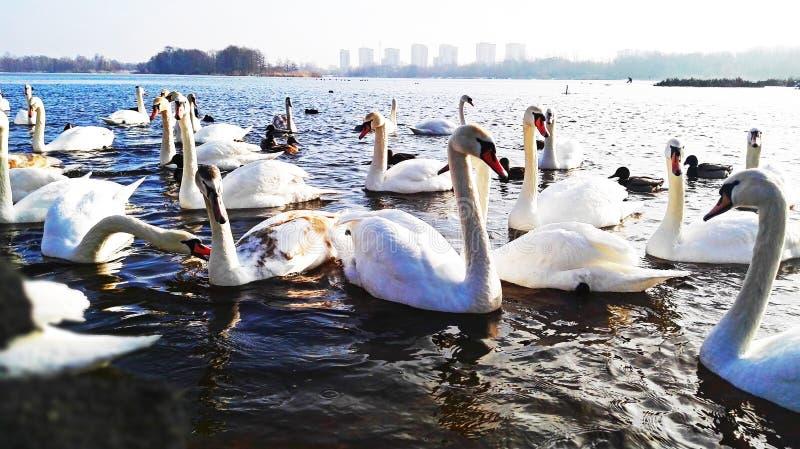 Vida de pássaros de água no selvagem imagens de stock