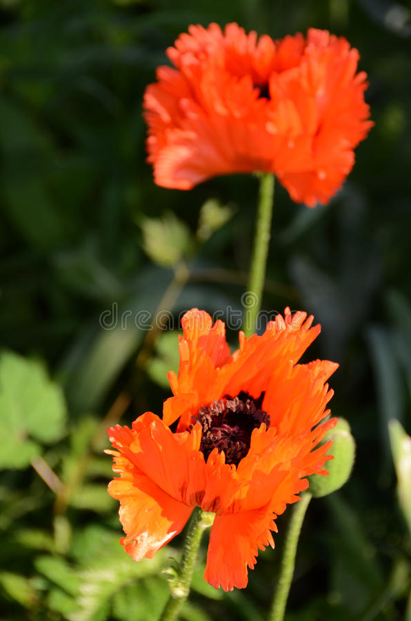 Vida de um vermelho de Turkenlouis da flor da papoila, franjada altamente foto de stock royalty free