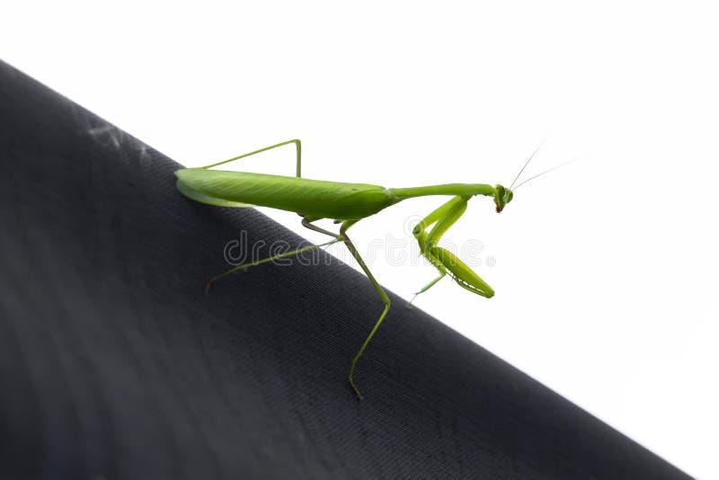 Vida de una mantis religiosa verde gigante del saltamontes, es especie depredadora del insecto en prados habiting fotografía de archivo libre de regalías
