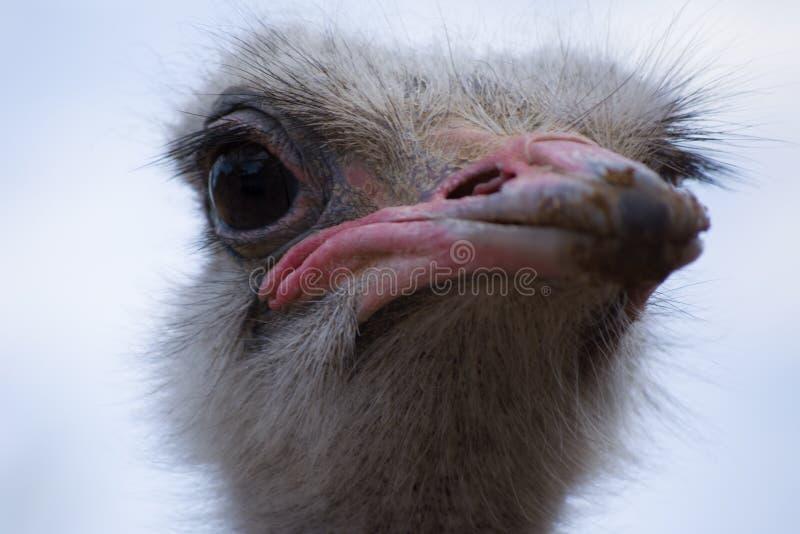 Vida del emú en cautiverio Ascendente cercano de la avestruz Pájaro australiano imagen de archivo