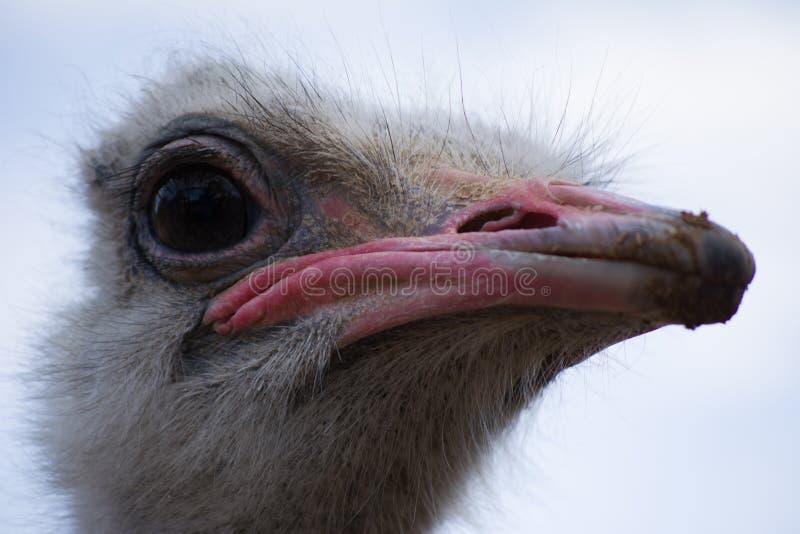 Vida del emú en cautiverio Ascendente cercano de la avestruz Pájaro australiano foto de archivo libre de regalías