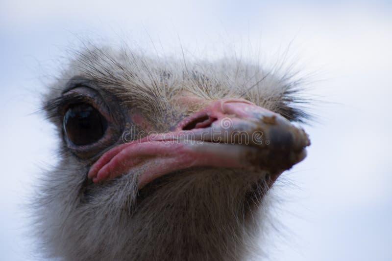 Vida del emú en cautiverio Ascendente cercano de la avestruz Pájaro australiano fotografía de archivo libre de regalías