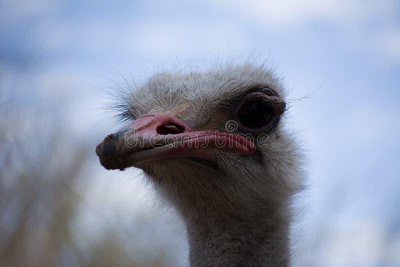 Vida del emú en cautiverio Ascendente cercano de la avestruz Pájaro australiano imagenes de archivo