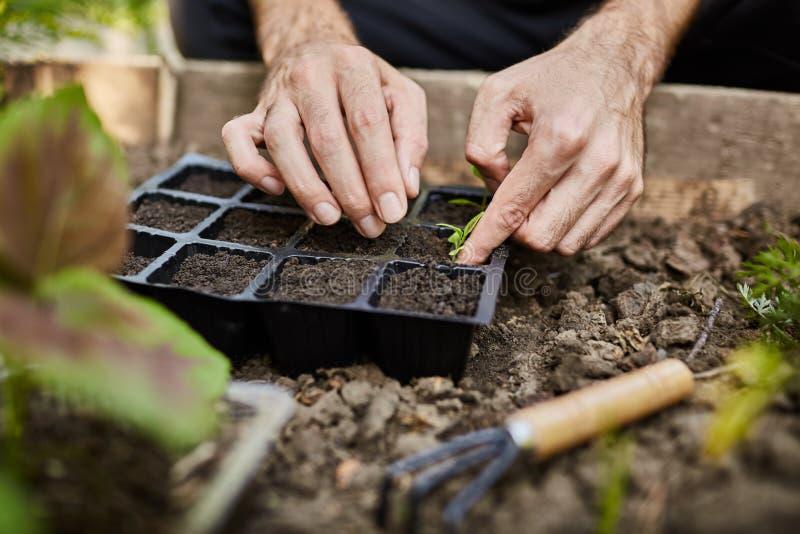 vida del granjero Jardinero que planta almácigos jovenes del perejil en huerto Ciérrese para arriba de las manos del hombre que t imagenes de archivo