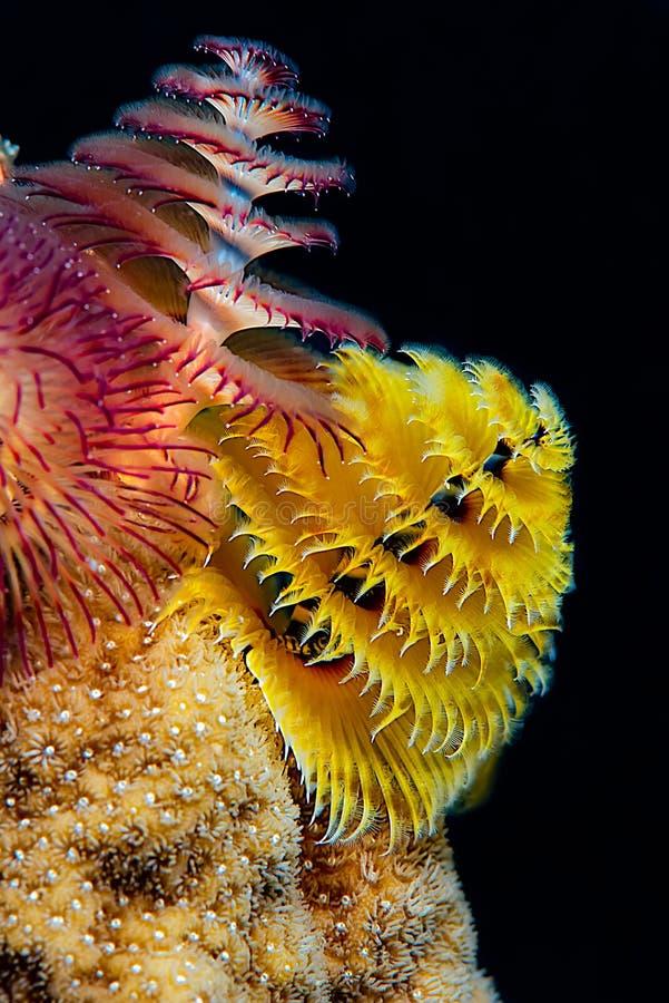 Vida del gusano del árbol de navidad en un coral tropical duro amarillo fotografía de archivo libre de regalías