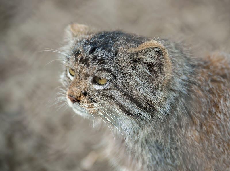Vida do manul de Otocolobus do gato de Pallas nas pastagem e nos estepes montanos de Ásia central Retrato de um gatinho selvagem  fotografia de stock royalty free