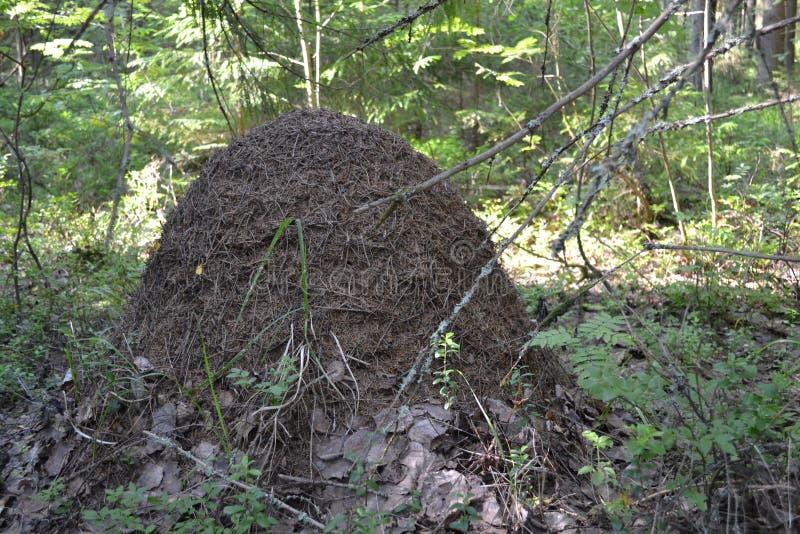 Vida dos insetos da floresta do monte da formiga das formigas fotos de stock