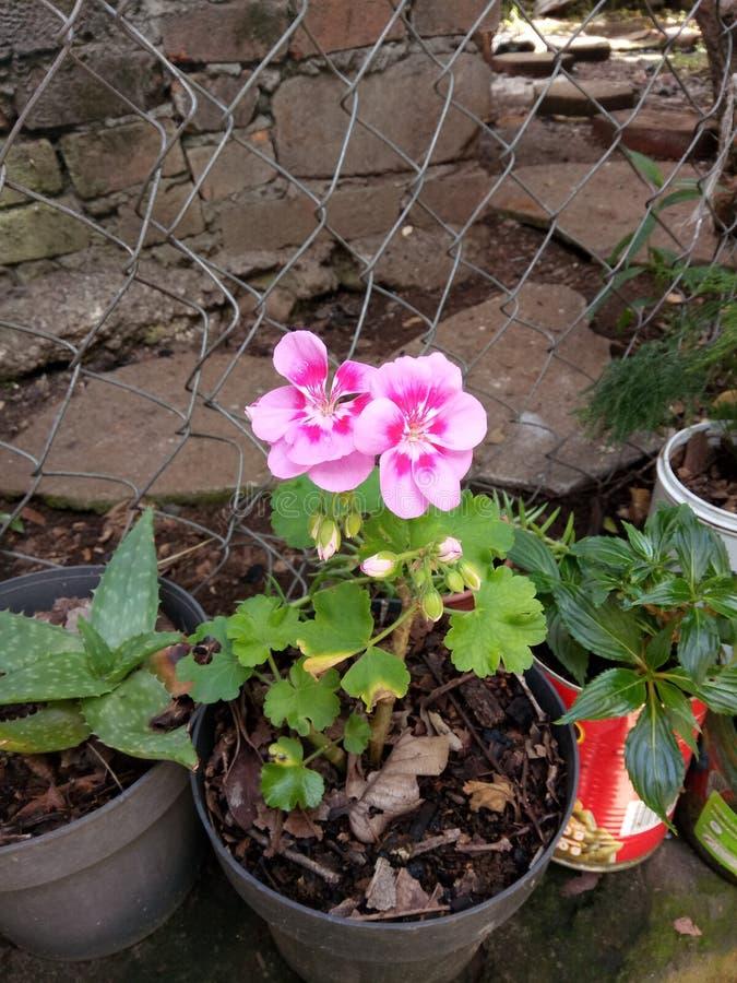 A vida em rosas cor-de-rosa fotografia de stock royalty free