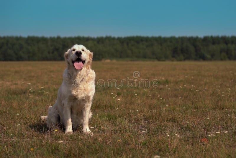 Vida feliz de los animales domésticos - golden retriever hermoso que presenta mientras que se sienta en el campo imagen de archivo
