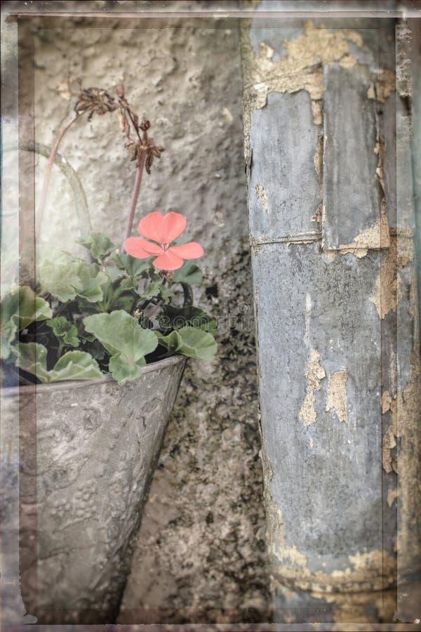 Vida imóvel criativa da flor no potenciômetro antiquado da parede e em uma tubulação oxidada da chuva fotografia de stock royalty free