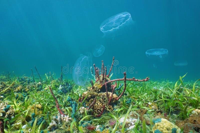 Vida marina colorida en el fondo del mar con las medusas de la luna foto de archivo libre de regalías