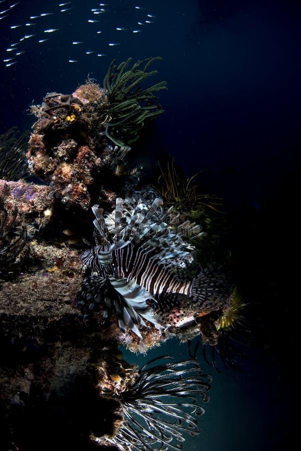 Vida marina de los pescados del león en fondo oscuro foto de archivo