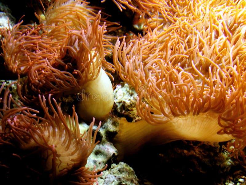 Download Vida marinha imagem de stock. Imagem de anemone, alga, recife - 64265