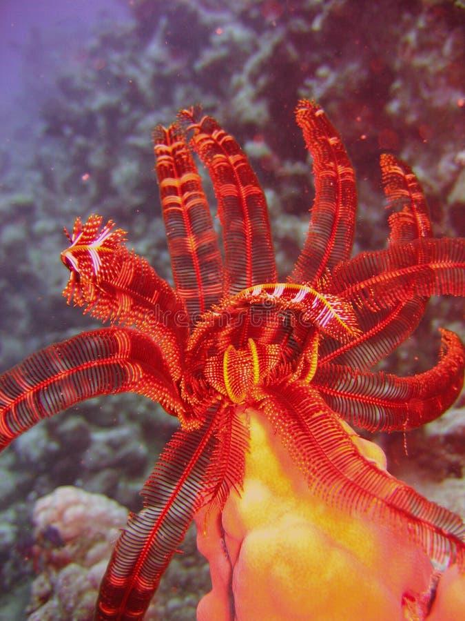 Vida marinha - crinoid imagem de stock royalty free
