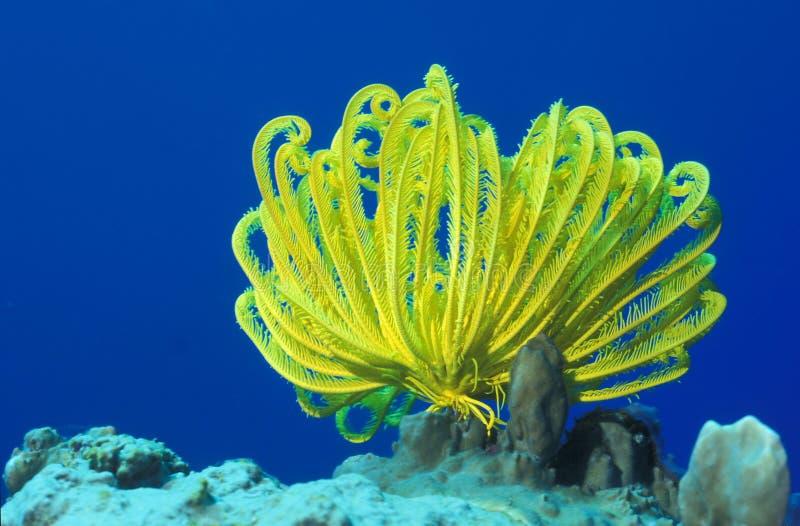 Vida marinha - Crinoid amarelo imagens de stock royalty free