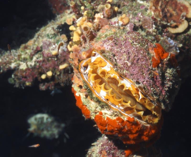 Vida marinha - Scallop da rocha imagens de stock royalty free