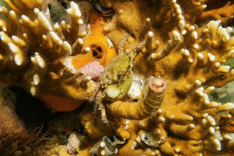 Vida marinha um caranguejo aderindo-se verde no coral do fogo fotos de stock