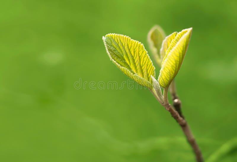A vida nova, mola sae de um sprout fotografia de stock royalty free