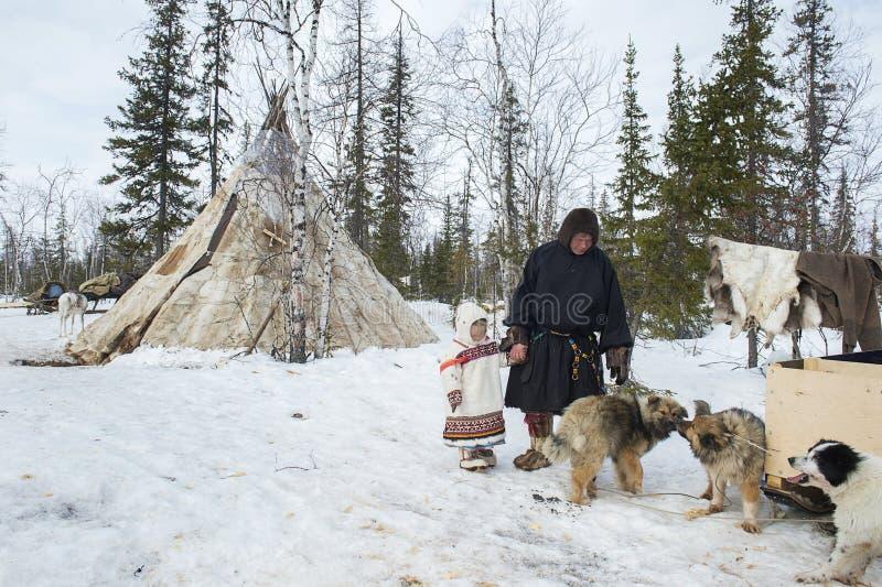 Vida quotidiana de pastores aborígenes da rena do russo no ártico fotos de stock