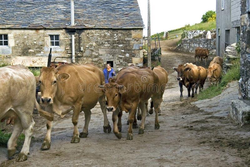 Vida rural española, opinión de la calle con la vaca que da un paseo foto de archivo