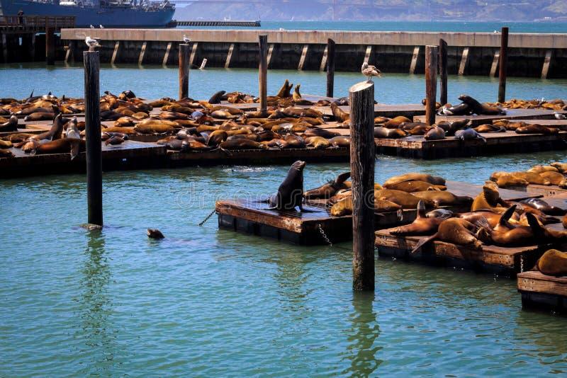 Vida salvaje marina en el embarcadero 39 en San Francisco fotos de archivo libres de regalías