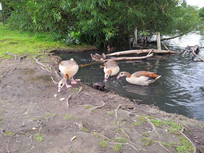 A vida selvagem, ganso pelo lago fotos de stock royalty free