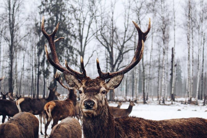 Vida selvagem natural de levantamento animal da árvore de vidoeiro da natureza da floresta dos cervos do país das maravilhas do i imagens de stock royalty free