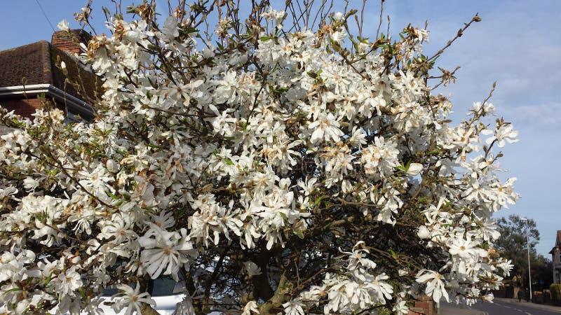 A vida selvagem pela estrada, arbustos das flores brancas foto de stock