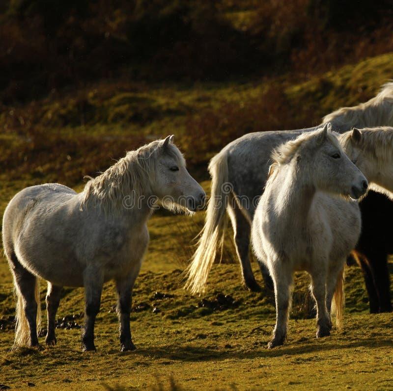 Vida semi selvagem cinzenta dos pôneis em Dartmoor foto de stock royalty free