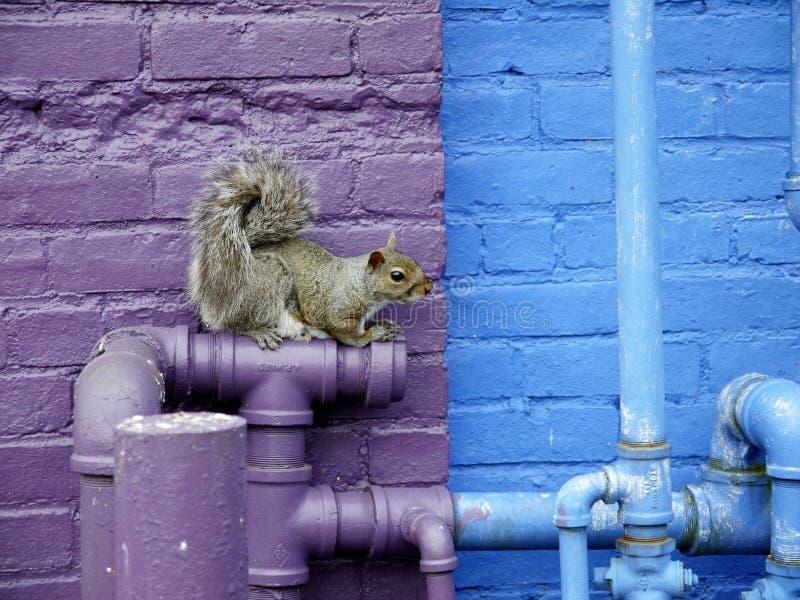 Vida urbana: ardilla en los tubos de la plomería fotos de archivo libres de regalías