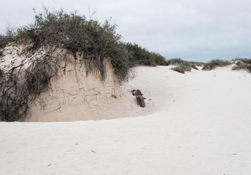 Vida vegetal en las arenas blancas foto de archivo libre de regalías