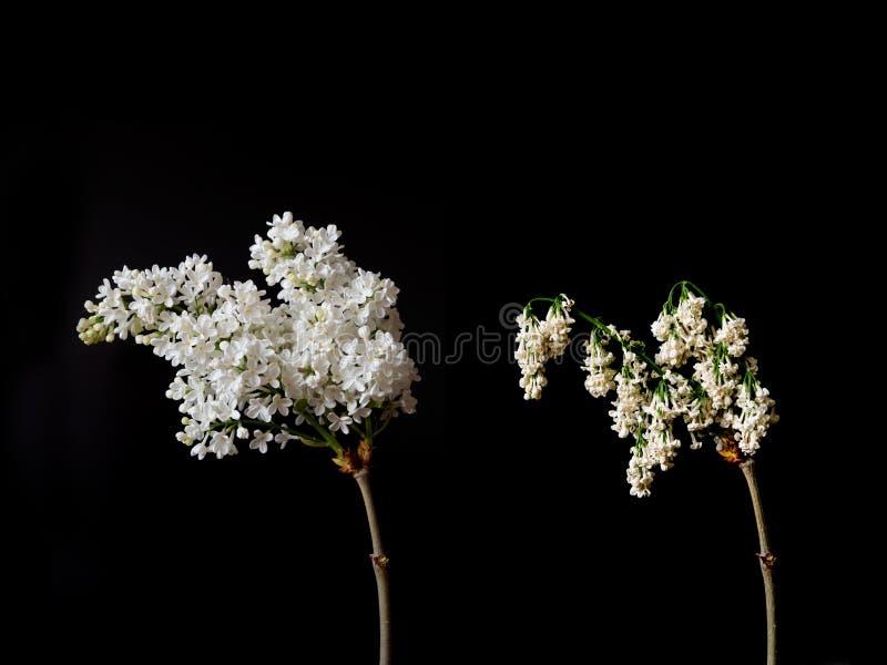 Vida y muerte de las flores de la lila imagen de archivo libre de regalías
