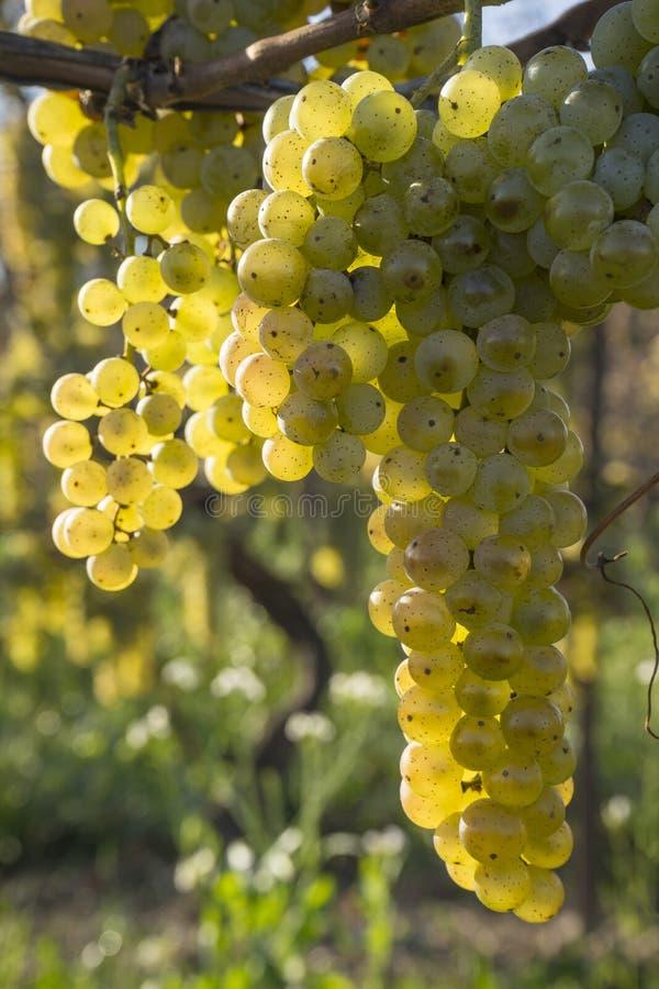 Vidal White Wine Grapes Hanging auf der Rebe im späten Fall #3 lizenzfreie stockfotografie