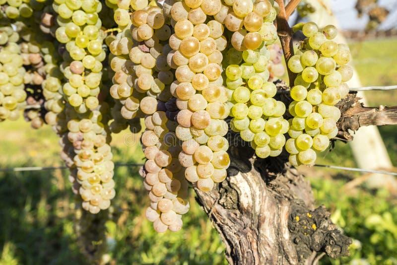 Vidal White Wine Grapes Hanging på vinrankan i den sena nedgången #4 arkivbilder