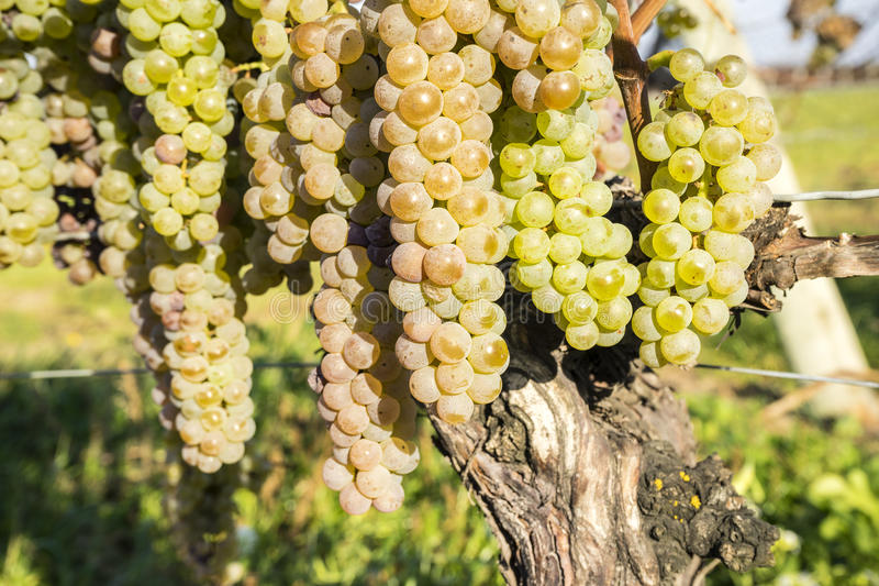 Vidal White Wine Grapes Hanging on the Vine in Late Fall #4 stock images