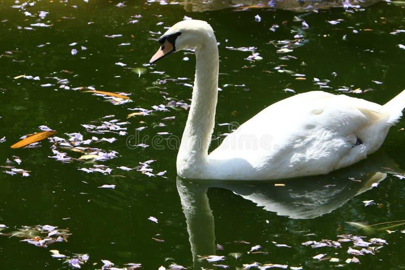 Vidas brancas da cisne no jardim zoológico imagem de stock royalty free