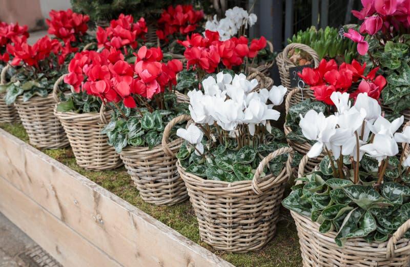 Vide- korgar med vita och röda cyklamenpersicumväxter i trädgården shoppar royaltyfri fotografi