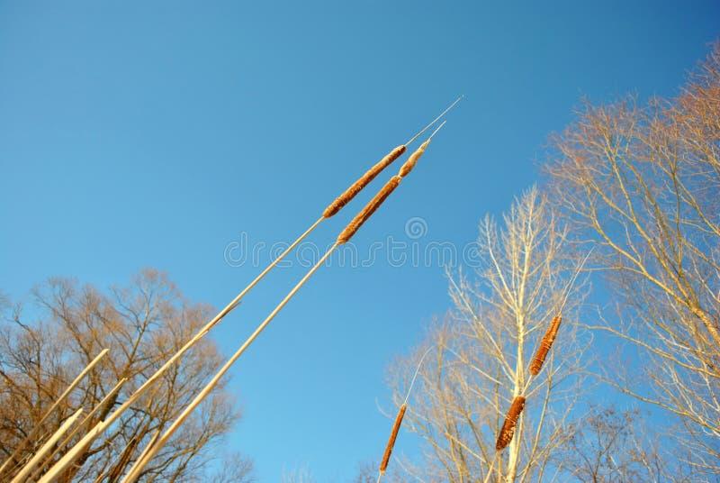 Videfilialer without lämnar torra vasser på himmelbakgrunden, solig vårdag arkivfoto