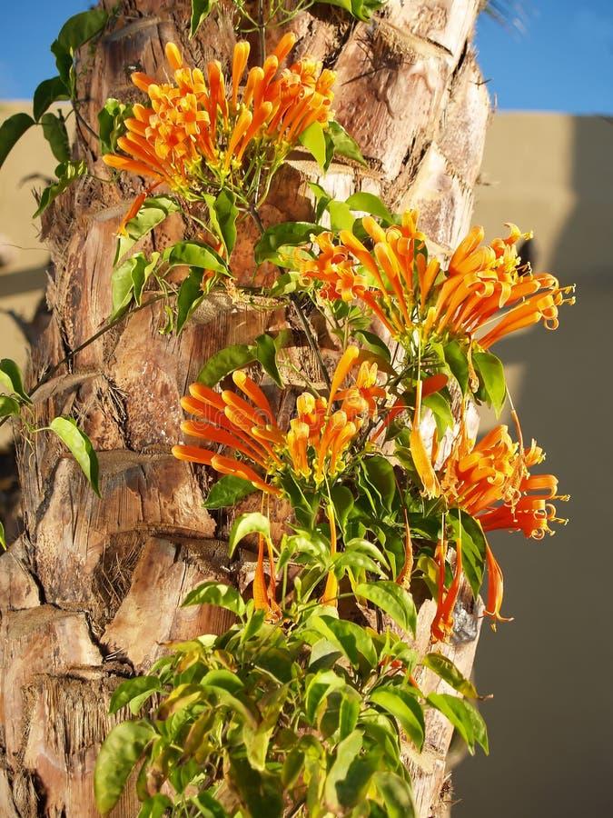 Videira da flama na palmeira fotografia de stock royalty free