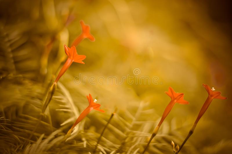 A videira de Cypress, flores vermelhas cortou ao fundo verde imagens de stock