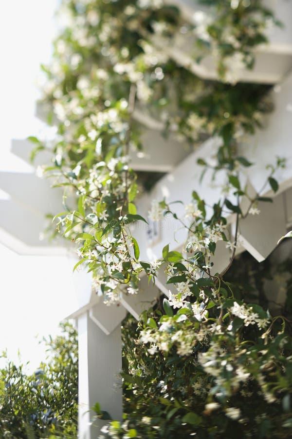 Videira de florescência que cresce no trellis. fotos de stock royalty free