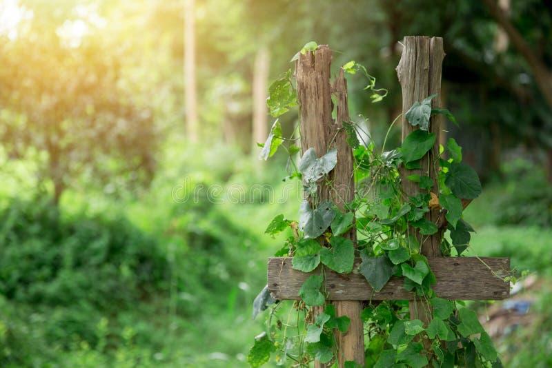 Videira de Ivy Gourd com campo de madeira foto de stock royalty free