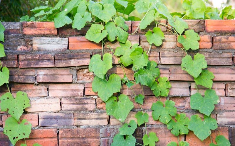 Videira de Ivy Gourd que cresce na parede de tijolo imagens de stock royalty free
