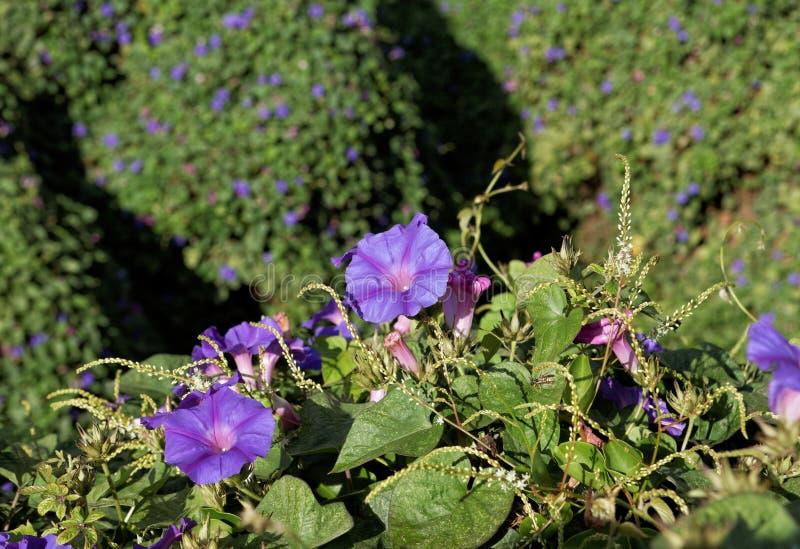 Videira do purpurea do Ipomoea com flores roxas imagens de stock