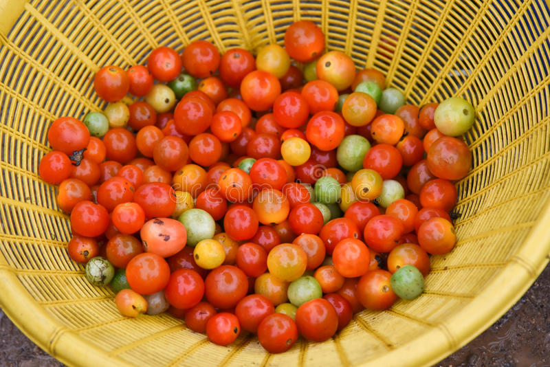 Videira do tomate imagem de stock royalty free