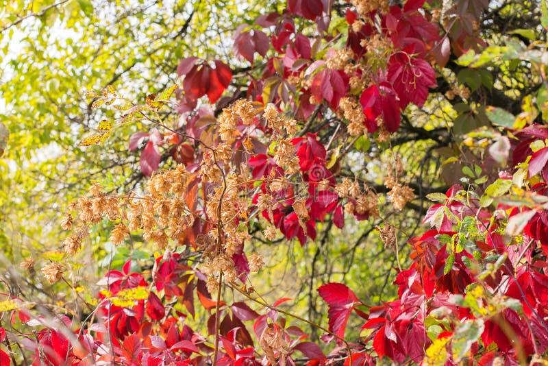 Videira e lúpulos de entrelaçamento selvagens Composição do outono das uvas e dos lúpulos imagem de stock royalty free