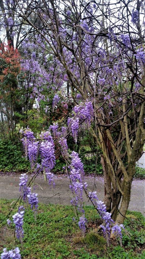 Videira roxa de florescência da glicínia que arrasta na árvore do anfitrião na primavera imagens de stock royalty free